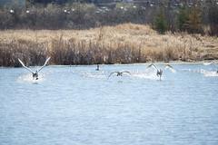 DSC_1411 (KevinYMa) Tags: bird nature tundraswan