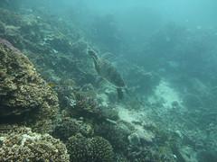 P1720585.jpg (MD & MD) Tags: otherkeywords greatbarrierreef june candid dive family australia ajencourtreef seaturtle portdouglas 2016 scuba downunder vacation
