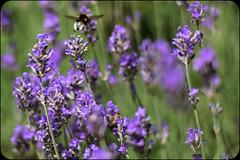 Fly away (marionrosengarten (off for holidays)) Tags: nature lavender park bumblebee flowers blossom violet plant lavendel hummel blumen pflanzen lila purple insect