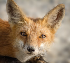 Portrait of a young fox (tresed47) Tags: 2016 201608aug 20160808bombayhookbirds animals bombayhook canon7d content delaware folder fox peterscamera petersphotos places takenby us