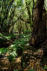 El Cedro, La Gomera (f25design) Tags: monte nikon canarias naturaleza canary landscape la gomera cedro