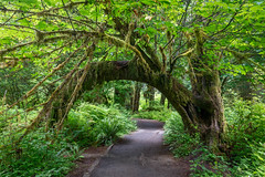 Green Arch (Kirk Lougheed) Tags: hallofmosses hohrainforest olympic olympicnationalpark olympicpeninsula usa unitedstates washington landscape nationalpark outdoor summer