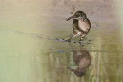 rle d'eau ( Rallus aquaticus ) Erdeven 160811zf2 (pap alain) Tags: oiseaux chassiers rallids rledeau rallusaquaticus waterrail erdeven morbihan bretagne france