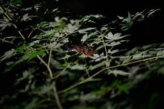 DSC_3984 (kazuchan_nara) Tags:   kyoto japan kitanotenmangu