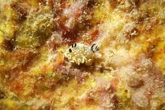triple horn (BarryFackler) Tags: nudibranch glossodoristomsmithi tomsmithsnudibranch mollusk invertebrate benthic seaslug gtomsmithi mollusc marineinvertebrate opisthobranch rhinophores honaunaubay honaunau marine marinebiology sea sealife polynesia pacificocean undersea underwater organism ocean dive diver westhawaii water aquatic animal reef konacoast konadiving coral creature ecology ecosystem zoology barryfackler barronfackler 2016 nature tropical island outdoor pacific life kona hawaii hawaiiisland hawaiicounty hawaiidiving hawaiianislands fauna diving southkona seacreature sealifecamera saltwater sandwichislands coralreef bigisland biology bay bigislanddiving being marinelife marineecosystem marineecology