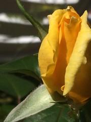 Bella come il sole ..... (esterinaeliseo1) Tags: sole petali garden gialla giardino rosa