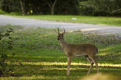 BGM_0005 (briarphotos) Tags: briarphotos nikon whitetail deer nikkor400mm