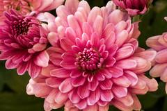 Chrysanthemenblte - Chrysanthemum (riesebusch) Tags: berlin garten marzahn