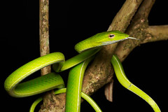 Ahaetulla prasina [Asian Vine Snake] (kkchome) Tags: herp herping herpetology snake reptile colubrid ahaetullaprasina asian vine asia malaysia bukit fraser wildlife nature fauna