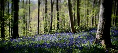 (a.pierre4840) Tags: england bluebells forest woodland spring olympus dorset diorama xenon omd 25mm schneider kreuznach f095 em5 artfilter cmount