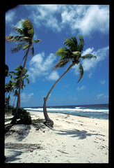 (alain_halter) Tags: palmier végétaux polynésiefrançaise végétal arécacées palmacées