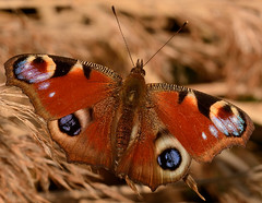 Peacock Butterfly (Severnrover) Tags: butterfly peacock io lepidoptera aglais inachis