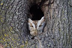 Eastern Screech Owl (___flowerchild) Tags: new cambridge england massachusetts owl eastern owls screech