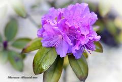 Flowers in the rain. (Dariusz A. - Poland) Tags: flowers rain garden 50mm spring nikon nikkor afs d3200 f18g