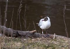 20150415_0589 (Pho2s4me) Tags: birds fugler sandvika hettemke
