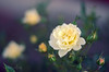 p365/116. (Pics by Susanna) Tags: flowers roses flower green rose yellow grey bokeh blurred romantic buds dreamy emotional day116 sense rosebuds greybackground day116365 365the2015edition 3652015 26apr15