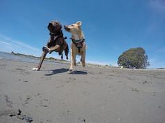 @coconut_cam GoPro dogs (@coconut_cam) Tags: berkeley bayarea rescuedog pitbullmix gopro berkeleydogs bayareadogs coconutcam gopro4 goprodogs bayareadogvideos berkeleydogvideos