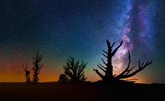 Ancient Bristlecone Pines (Wayne Pinkston) Tags: nightphotography night canon stars star galaxy astrophotography bryce nightsky brycecanyon milkyway bristleconepine ancientbristleconepine canon6d landscapeastrophotography waynepinkston lightcraftercom wwwlightcraftercom