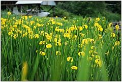 (CanMan90) Tags: flowers camping iris water canon britishcolumbia vancouverisland cedar planes float cans2s rebelt3i zuiderzeecampsite yellowpointroad