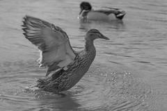 Dancing Queen (LarsGerritS) Tags: blackandwhite black water duck wasser waves wave ente canard wasservgel canoneos60d