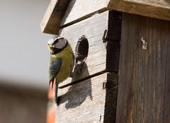 Scruffy Nesting Blue Tit #4 (PontyCyclops) Tags: blue nature garden back spring tit nest feeding box fledgling scruffy nesting 2015 fledging
