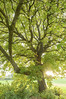 Large walnut tree (Juglans regia) in the evening light, autumn (N_h_@_n) Tags: herbst natur wiese gross tageslicht stark sonne baum gruen draussen gegenlicht walnuss abendlicht niemand laubbaum juglansregia walnussbaum baumnuss echtewalnuss walnussgewaechs