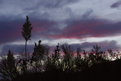"""Yucca dawn • <a style=""""font-size:0.8em;"""" href=""""https://www.flickr.com/photos/11859165@N00/18135902766/"""" target=""""_blank"""">View on Flickr</a>"""