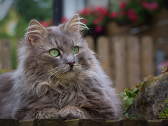 Time to let your thoughts wander (FocusPocus Photography) Tags: pet animal cat garden chat gato katze garten haustier kater tier fynn lostinthoughts ingedanken fynnegan
