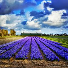 Hyacinths (Michiel2005) Tags: flower holland netherlands field nederland veld hyacinth bloem bollenveld flowerbulb bloemenveld