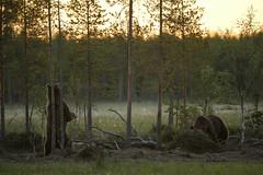 Ours bruns - Brown bears (Finlande) (Samuel Raison) Tags: bear nature finland nikon wildlife bears ours finlande brownbears oursbrun animauxsauvages wildbrownbear nikond3 nikonpassion nikon4200400mmafsgvr