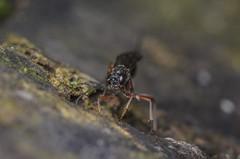 Ichneumon wasp (Lissonota sp?) (stephensmith54831) Tags: macro wasp ichneumon hymenoptera ichneumonidae sbr200 tokina100mm d7000