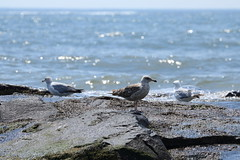 Seagulls at Ocean Grove (acereporter73) Tags: beach shore oceangrove