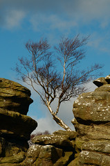 Between a rock and a hard place (Richie Rue) Tags: nikond300 outdoors landscape tree silver birch rock rocks stones stack hard place yorkshire england brimham