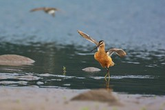 Dance with me (Adam Wang) Tags: bird shorebird dowitcher longbilled hoodriver columbiariver oregon nature wildlife