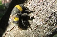 Abejorro (mariarl_art) Tags: abejorro insecto miel abeja tronco rbol volador naturaleza