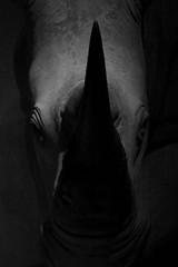 Rhinoceros (Picturepest) Tags: schwarzweis schwarzweiss sw blackwhite bw blackandwhite monochrome einfarbig rhinoceros rhinozeros nashorn animal tier kopf head tete wild wilderness taxidermy taxidermie ausgestopft museum naturalhistorymuseum edinburgh scotland uk