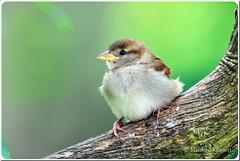 Haussperling  House sparrow  (M.A.K.photo) Tags: bird nature birds nikon outdoor wildlife sparrow housesparrow passerdomesticus vogel songbird birdwatcher huismus singvogel haussperling naturewatcher afstc20eiii nikkorafstc20eiii nikkor30mm28 afnikkor300mmf28