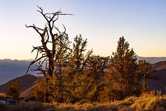 White Mountains Sunset (fate atc) Tags: california sunset snow tree dry whitemountains sierranevada bishop highaltitude bristleconepine ancienttree sunsetlightonbristleconepine