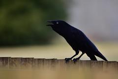 Ah-ah-ah (Luke6876) Tags: bird animal wildlife raven corvid australianwildlife australianraven