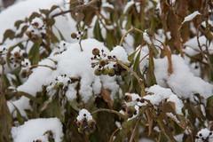 ckuchem-1152 (christine_kuchem) Tags: beeren blten efeu efeubeeren eiskristalle frost garten kristalle nahrung naturgarten samenstnde stauden vogelnahrung vogelschutz vgel wildgarten winter wintergarten winternahrung naturbelassen naturnah natrlich reif schnee berzogen