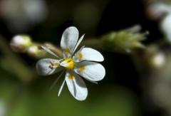 petite fleur des alpes (bulbocode909) Tags: nature fleurs jaune vert