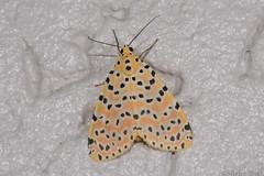 Crotalaria Podborer Moth (Mangina argus) (shaneblackfnq) Tags: crotalaria podborer moth mangina argus shaneblack insect wonga beach mossman daintree river fnq far north queensland australia tropics tropical