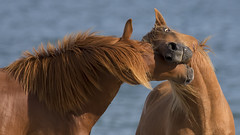 Muzzle Wrestling (gimmeocean) Tags: assateagueislandnationalseashore assateagueisland assateague maryland md wildhorses horses equines wrestling ocean