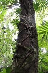 Monteverde Cloud Forest (elisecavicchi) Tags: monteverde cloud forest palm leaf foliage central america costa rica light perspective trunk bark vine clamp invade