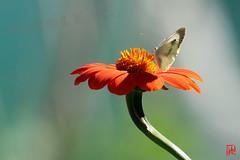 Le bonheur est comme un papillon : il vole sans jamais regarder en arrire. (mamnic47 - Over 6 millions views.Thks!) Tags: fleurs insectes boisdeboulogne bagatelle libellules parcdebagatelle img4880 jardinsdebagatelle pierideduchou sigma150600mm 19072016