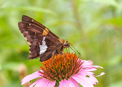 Silver Spotted Skipper (Shannonsong) Tags: silverspottedskipper butterfly skipper insect lepidoptera nature coneflower blossom bloom garden summer pink flower mariposa