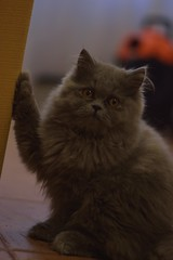 Miel (siinestesiia) Tags: nikon nikond5200 nikkor 50mm 50mmlens photografa photographie photography portrait cat kitty kitten gatita gata