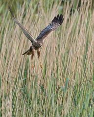 Marsh Harrier (skees499 ) Tags: bruinekiekendief keesmolenaar nikon d500 alblasserwaard natuur bif roofvogel holland nature birding wildlfie circus aeruginosus circusaeruginosus