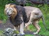 Radja funnily scratching (Tambako the Jaguar) Tags: profile male scratching funny balls mane testicles lion asitic indian big wild cat zürich zoo switzerland nikon d5