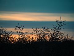 silhouettes_at_dusk (Joerg Esper) Tags: kruft rheinlandpfalz deutschland de dmmerung dusk himmel sky cloud clouds wolken wolke wolkig bewlkt silhouette colors color farben farbe natur nature landscape landschaft olympus olympusomdem1 olympusmzuikodigitaled40150mm14056r rape raps rapsfeld